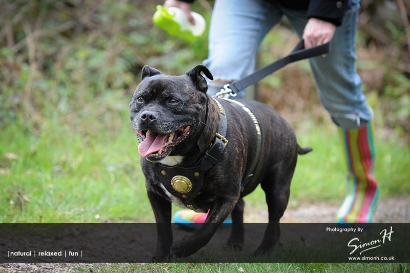 Stockport Pet Photographer - Staffordshire Bull Terrier on a Walk