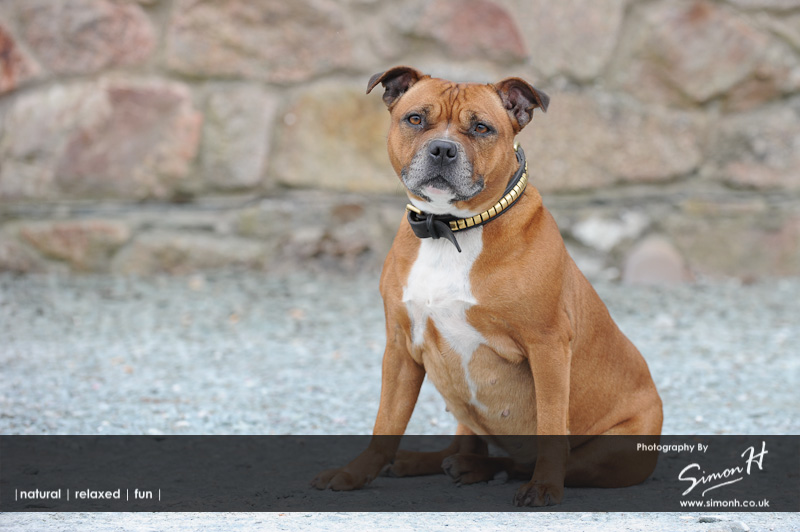 Stockport Pet Photographer - Staffordshire Bull Terrier